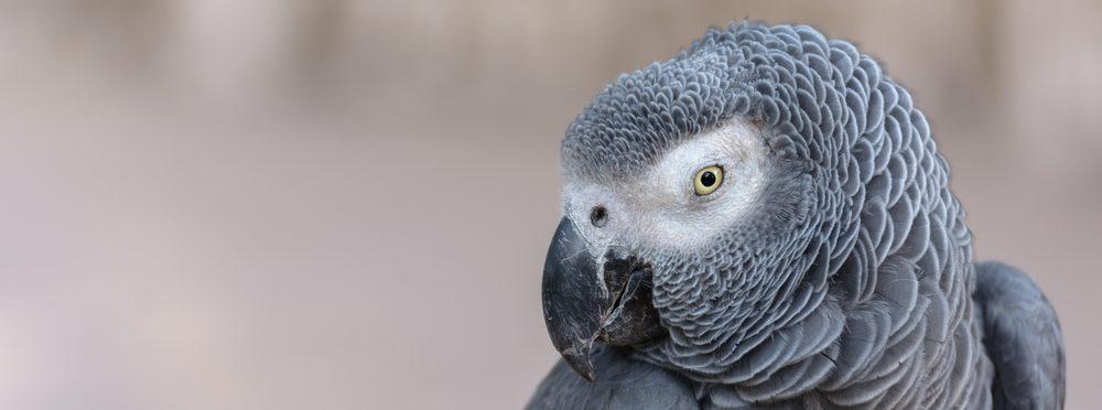 African Grey Parrot hd 1 e1575611607505