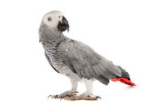 African Grey Parrot Care Guide - Diet, Lifespan & more