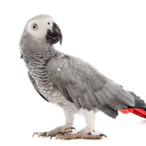 African Grey Parrot - Care Guide, Info & Price