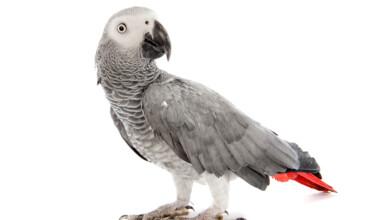 African Grey Parrot white bg