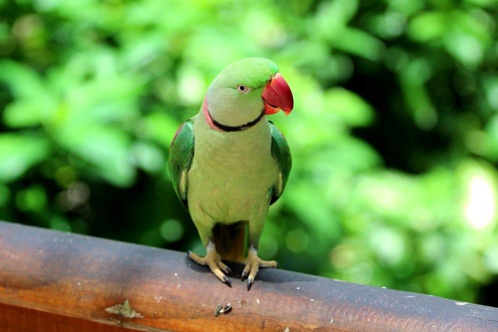 Alexandrine Parrot in a wild