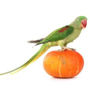 Alexandrine parrot - Care Guide, Info & Price