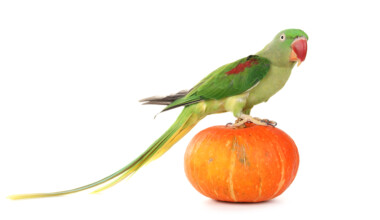 Alexandrine Parrot on a pumpkin