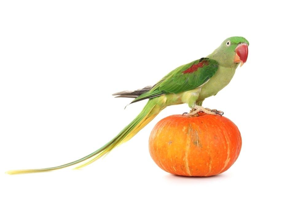 Alexandrine Parrot on a pumpkin