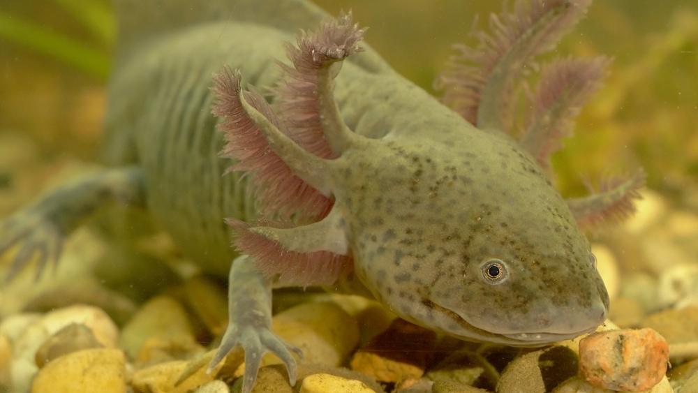 Axolotl in water