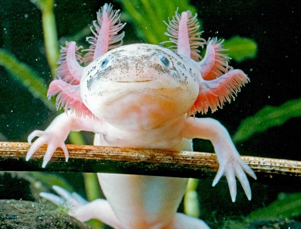 Axolotl white