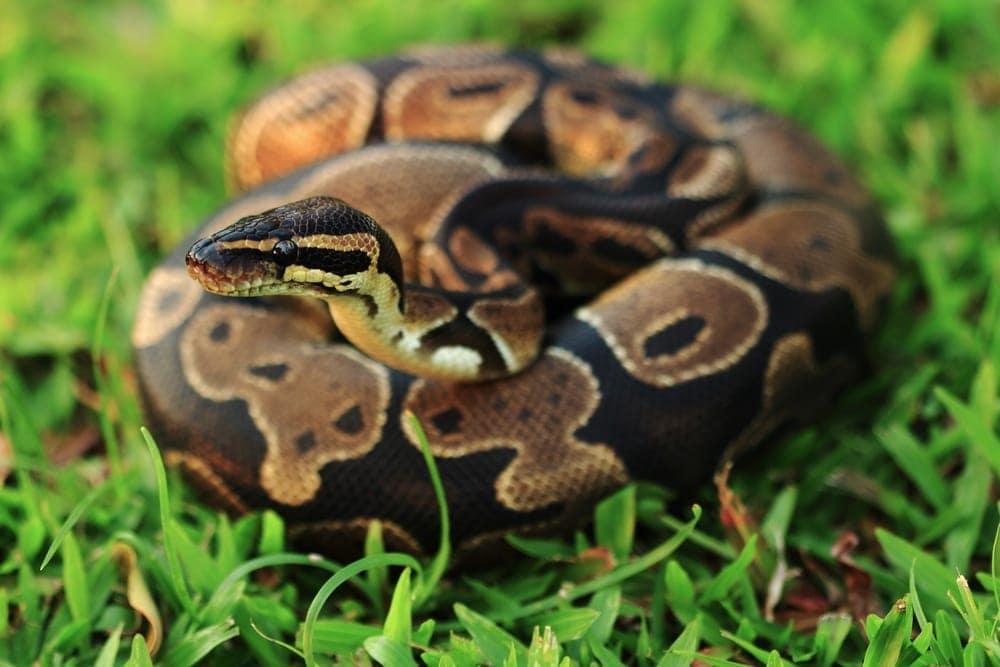 Ball python Morph grass