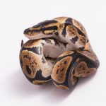 Ball Python Morph - History & Information