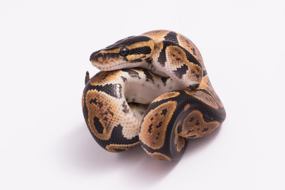 Ball python Morph white