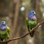 Blue Headed Pionus - Care Guide, Info & Price