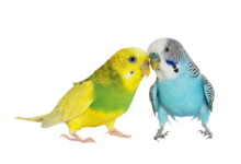 Budgie Parakeet Care Guide - Diet, Lifespan & More