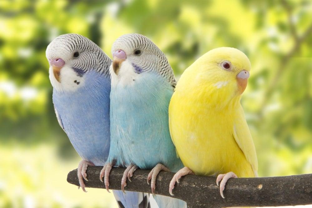 Budgie Parakeet 3