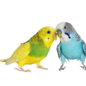 Budgie Parakeet - Care Guide, Info & Price