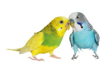 Budgie Parakeet
