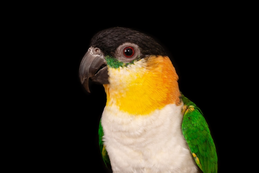 Caique black background