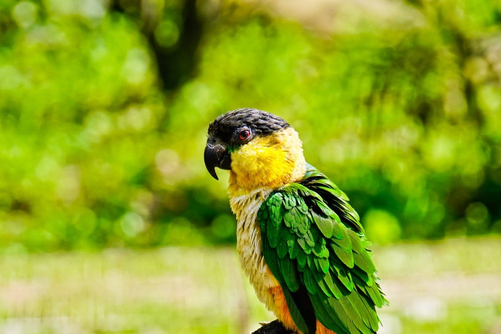 Caique in jungle
