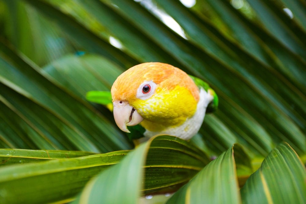 Caique on a palm