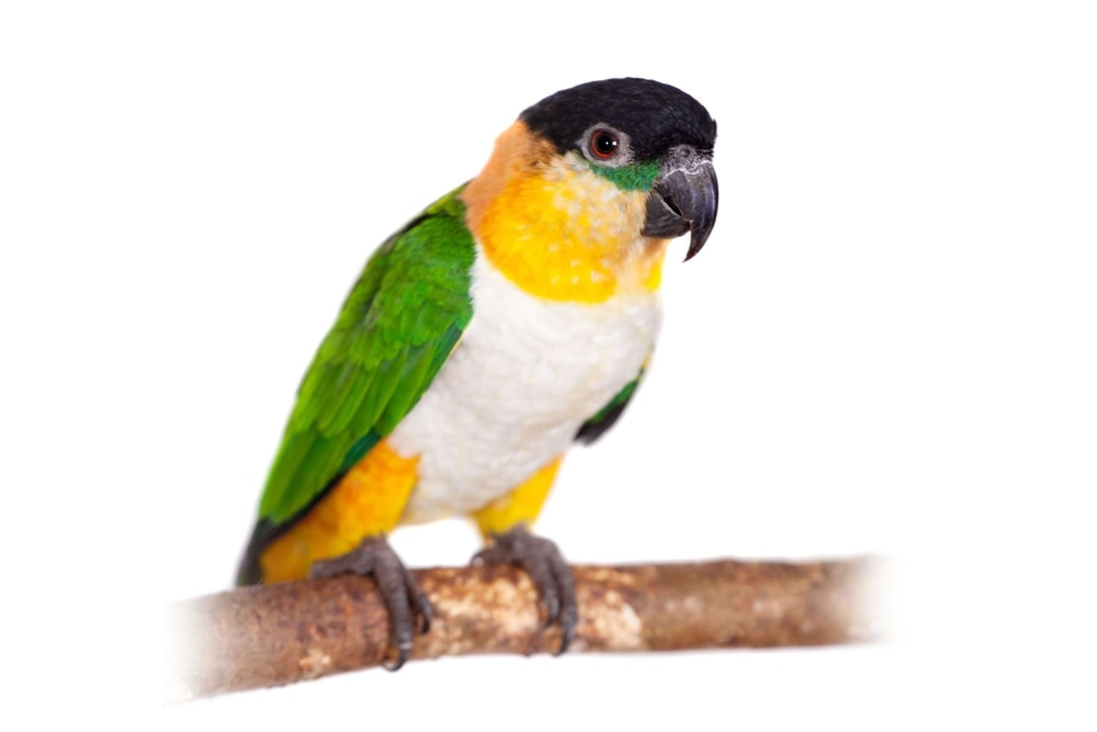 Caique white background
