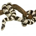 California Kingsnake Care Guide - Diet, Price & More