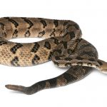 10 North American Rattlesnakes