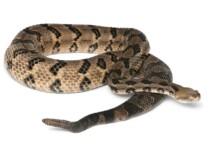 10 North American Rattlesnakes