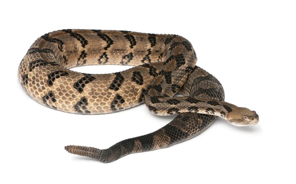 Canebrake Rattlesnake bg