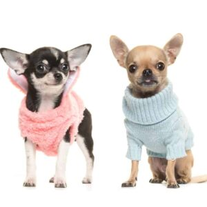 Why Do Chihuahuas Shake So Much?