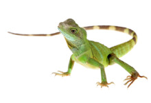 Chinese Water Dragon Care Guide & Prices