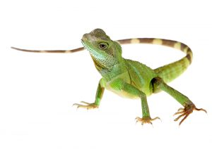 Chinese Water Dragon – Care Guide & Prices
