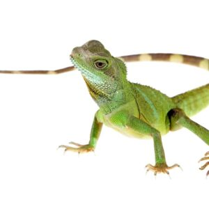 Chinese Water Dragon - Care Guide & Prices