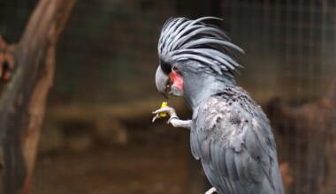 Cockatoo black palm 1