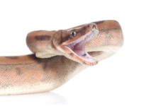 Colombian Boa Constrictor Care guide - Size & Prices