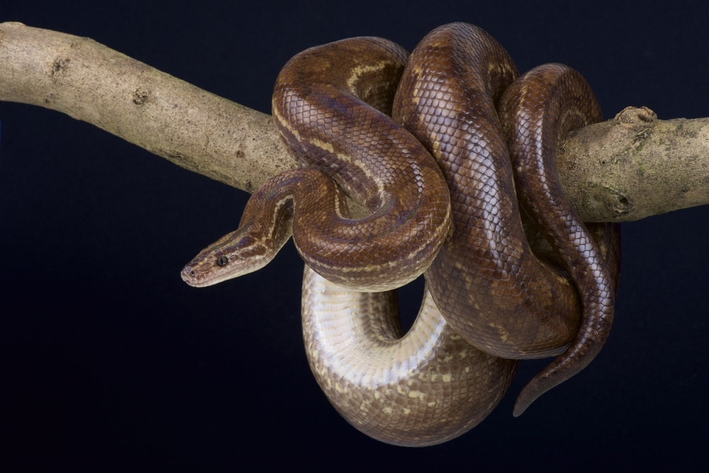 Colombian Boa constrictor