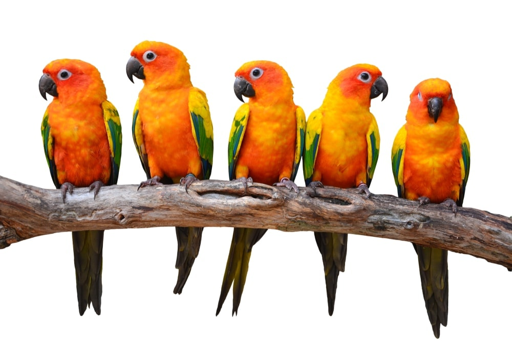 Conures white background