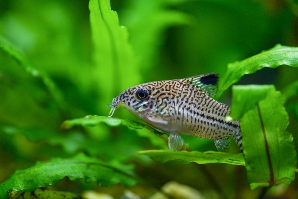 Cory Catfish 1
