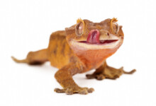 Crested Geckos Care Guide & Prices