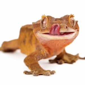 Crested Geckos - Care Guide & Prices