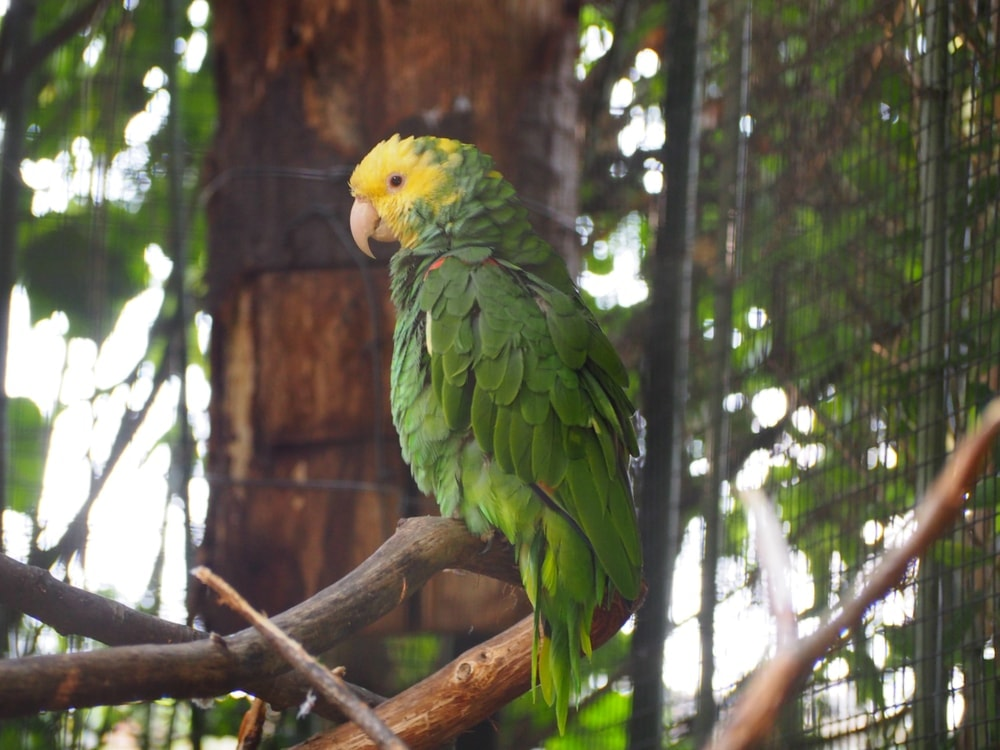 Double yellow headed parrot in forest