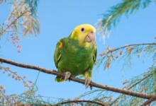 Double Yellow Headed Parrot Care Guide - Diet & More