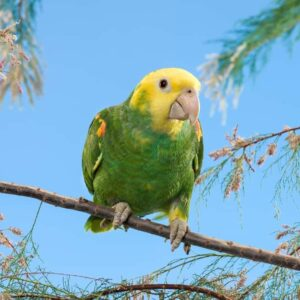 Double Yellow Headed Parrot - Care Guide