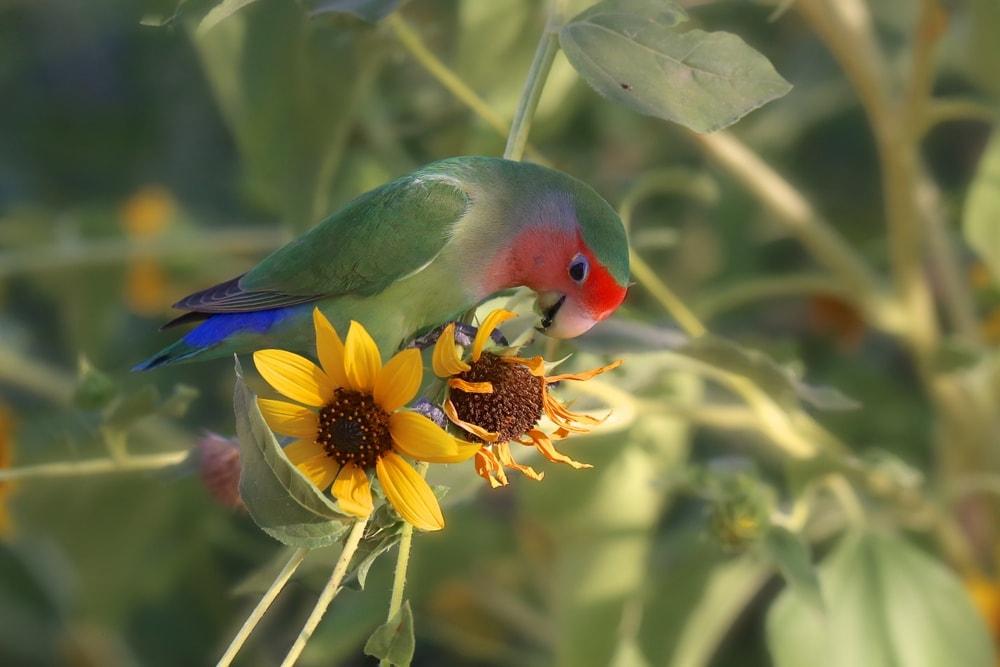 Fischer's lovebird and flower