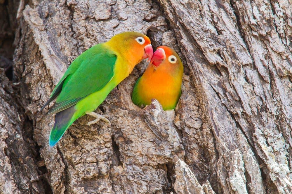 Fischer's lovebird couple