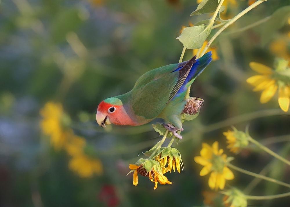 Fischer's lovebird happy