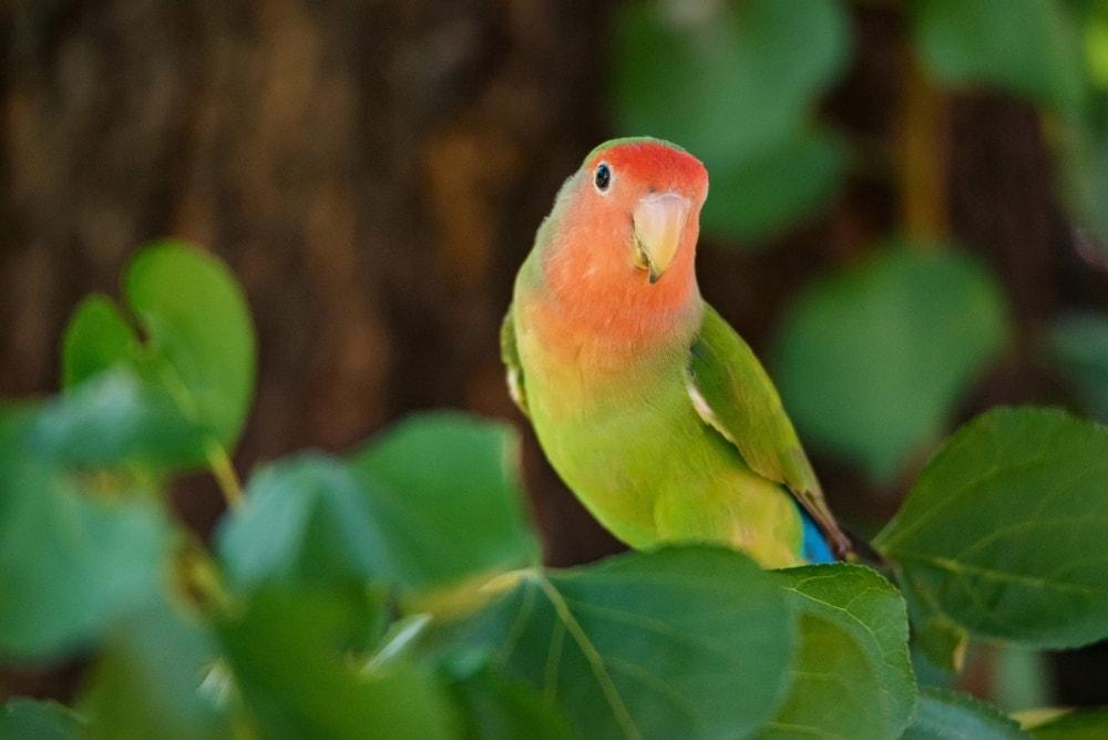 Fischer's lovebird in the wild