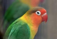 Fischer's Lovebird Care Guide, Info & Price