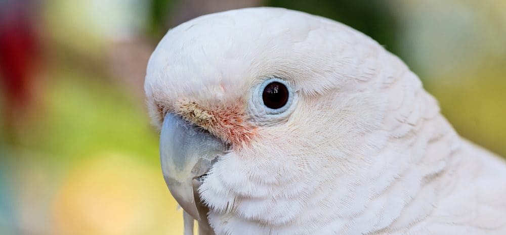 Goffins cockatoo 1 e1575821018766