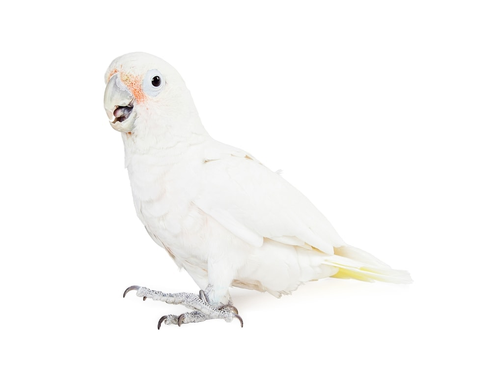 Goffins cockatoo white bg