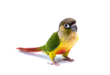 Green Cheeked Conure Care Guide - Diet, Lifespan & More