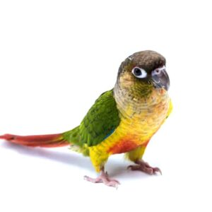Green Cheeked Conure - Care Guide, Info & Price