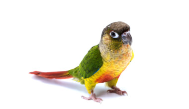 Green Cheeked Conure white background